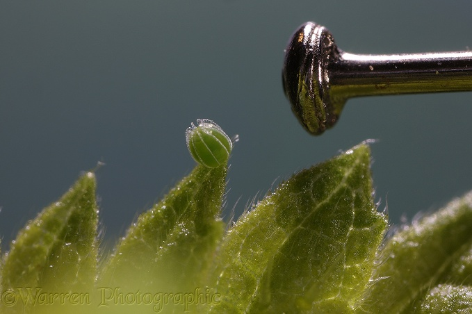 Red Admiral Butterfly egg photographed with head of dressmakers' pin