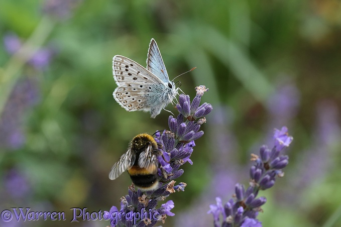 Chalk-hill Blue Butterfly (Lysandra coridon) sharing lavender flowers with a bumblebee