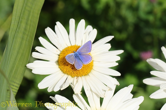Common Blue Butterfly (Polyommatus icarus) on Marguerite Daisy