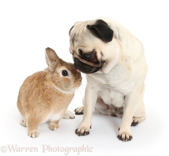 Fawn Pug with Netherland-cross rabbit, Peter, white background