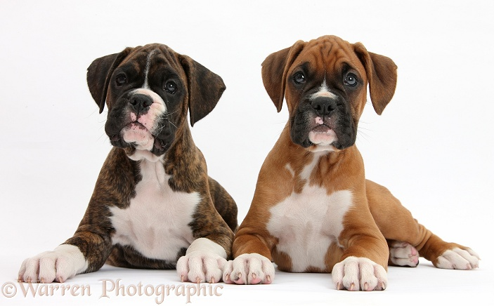 Boxer puppies, 8 weeks old, lying head up, white background