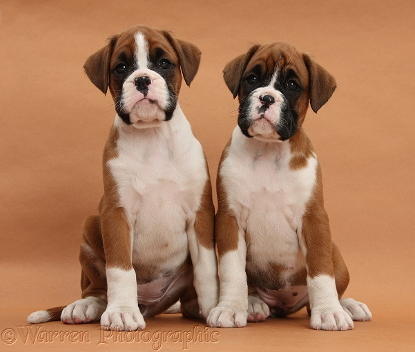 Boxer puppies, 7 weeks old, on brown background