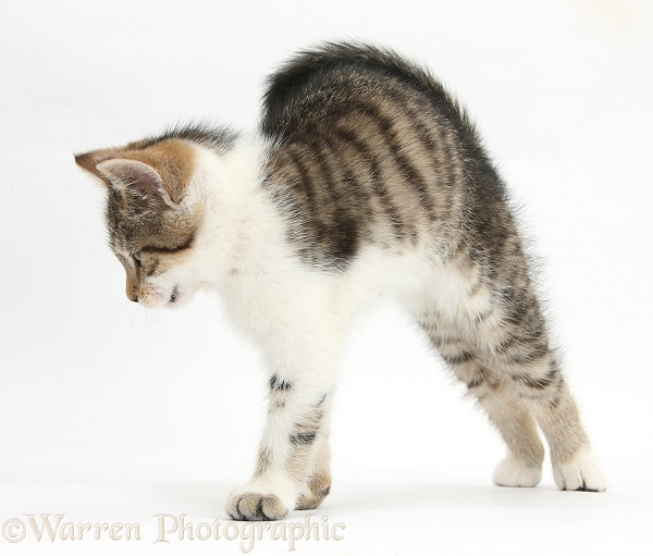 Tabby-and-white kitten stretching with arched back, white background