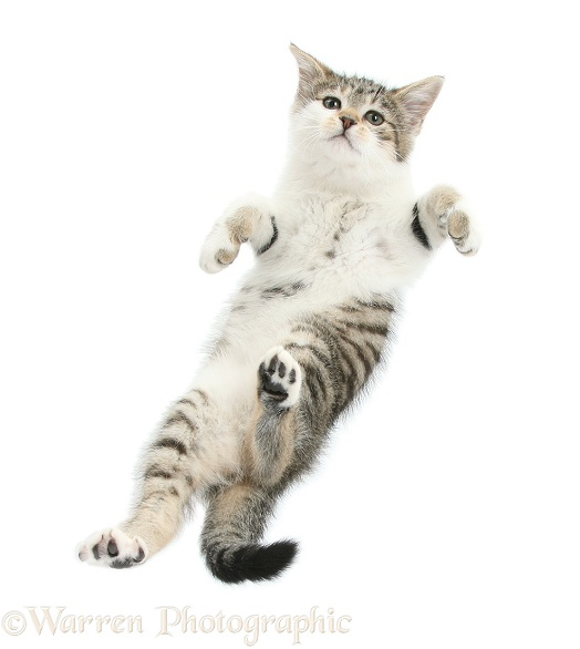 Tabby-and-white kitten taking a flying leap, white background