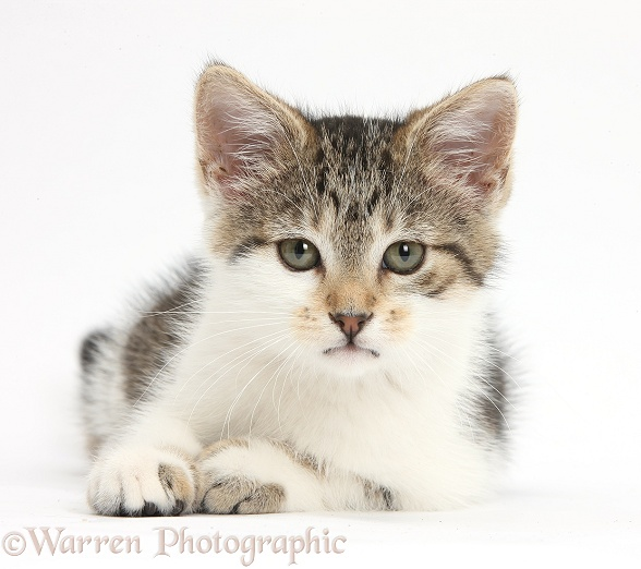 Tabby-and-white kitten lying with head up, white background