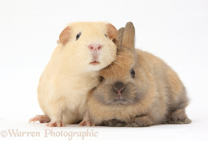 Yellow Guinea pig and brown bunny together, white background