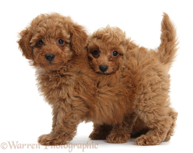 Two cute red Toy Poodle puppies, white background