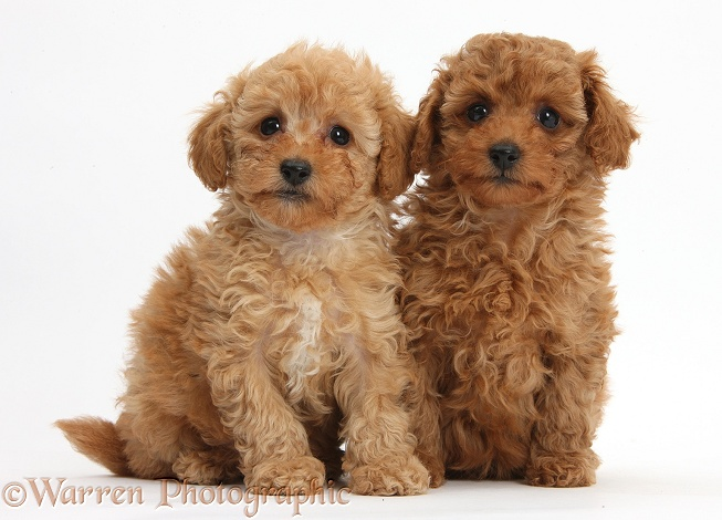Pictures Of Toy Poodles Dogs