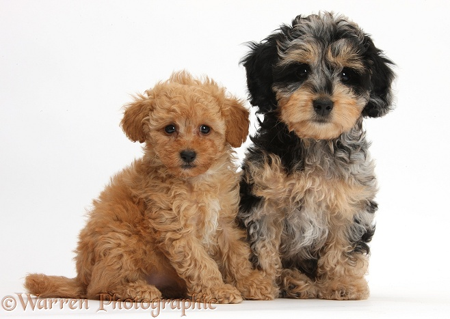 Cute tricolour merle Daxie-doodle puppy, Dougal, sitting with red Toy Poodle puppy, white background