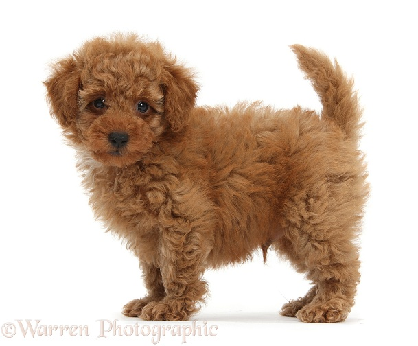 Dog: Cute red Toy Poodle puppy standing photo  WP38699