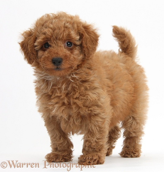 Cute red Toy Poodle puppy standing, white background
