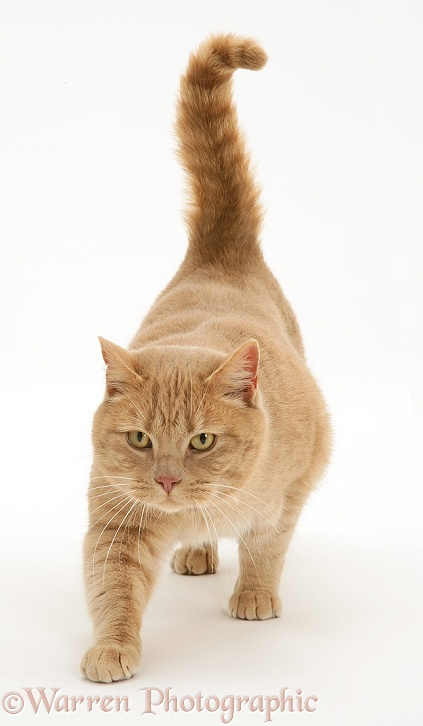 British Shorthair Cream Spotted male cat, Horatio, prowling, white background