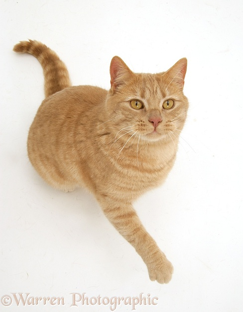 Cream spotted British shorthair cat, Horatio, sitting, looking up and raising a paw, white background