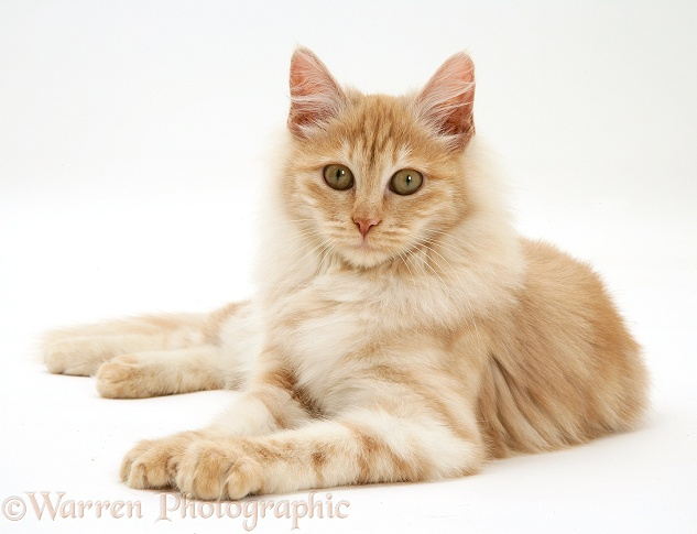 Red silver Turkish Angora cat, white background