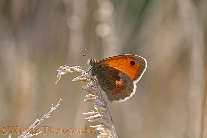 Small Heath Butterfly (Coenonympha pamphilus) resting in late evening sun