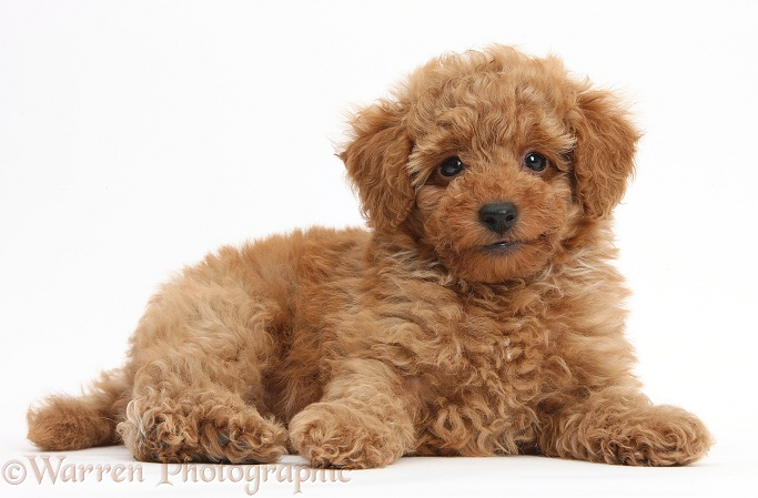 Cute red Toy Poodle puppy, white background