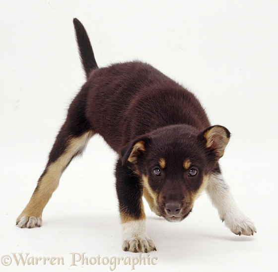Mongrel puppy, Varmint, defensive at a strange object, white background
