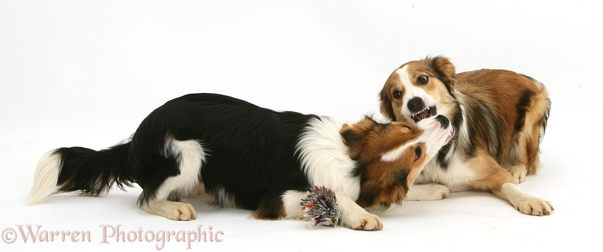 Border Collies arguing over possession of a toy, white background