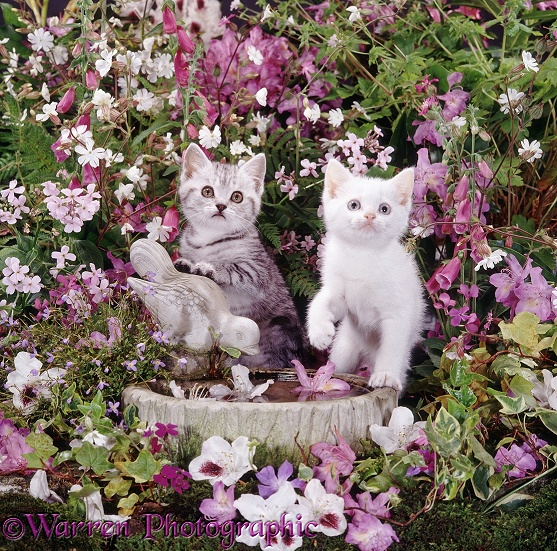 Tabby and white kittens at bird bath among flowers