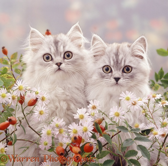 Silver tabby Persian kittens among Michaelmas daisies and rosehips