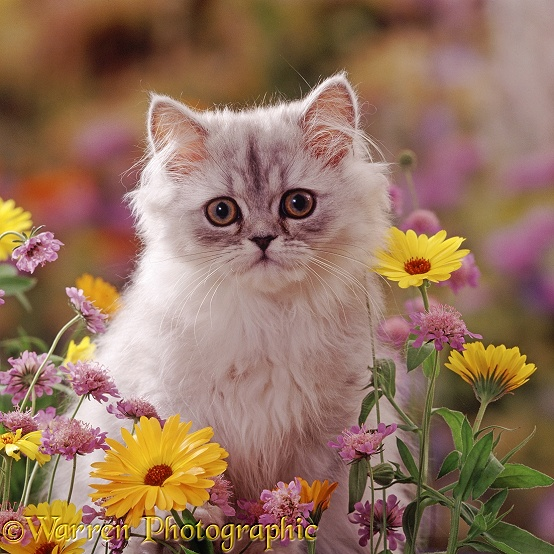 Fluffy silver Chinchilla x Persian kitten among orange Marigold and Scabious flowers