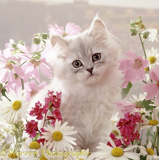 Portrait of pale silver long-haired kitten among mallows and ox-eye daisies