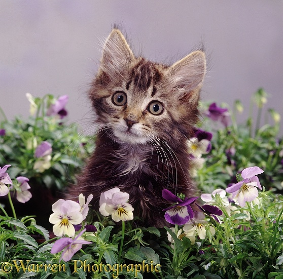 Fluffy tabby kitten with purple pansies