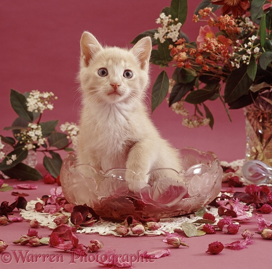 Cream kitten, 9 weeks old, has been playing with pot pourri in a glass bowl