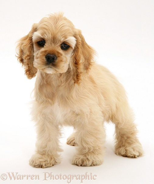Buff American Cocker Spaniel pup, China, 10 weeks old, standing, white background