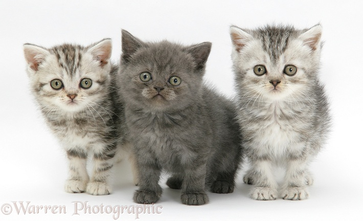 Three kittens, two silver tabby and one grey, white background