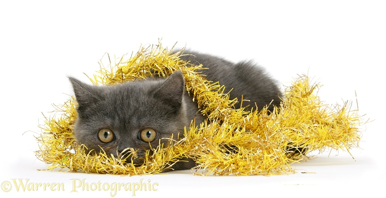 Grey kitten hiding in yellow Christmas tinsel, white background