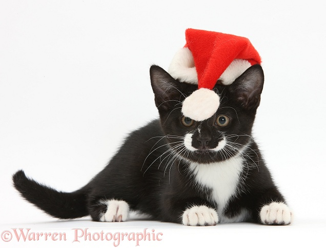 Black-and-white tuxedo kitten, Tuxie, 11 weeks old, hiding behind the bobble of his Father Christmas hat, white background