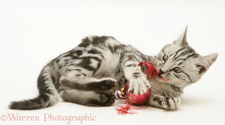 Silver tabby kitten trying to murder Christmas decorations, white background