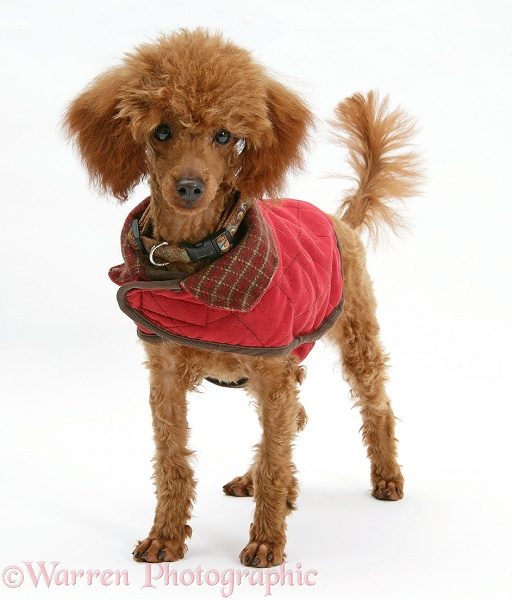 Red Toy Poodle, Reggie, standing with red coat on, white background