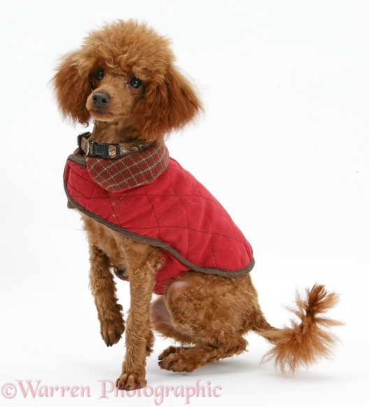 Red Toy Poodle, Reggie, sitting with red coat on, white background