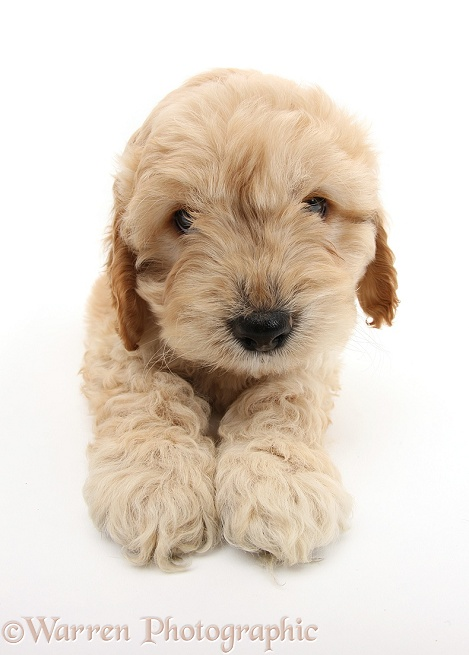 Golden Cockapoo pup, white background