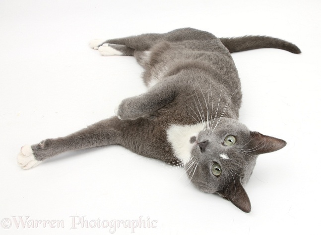 Blue-and-white Burmese-cross cat, Levi, lying on his side, white background