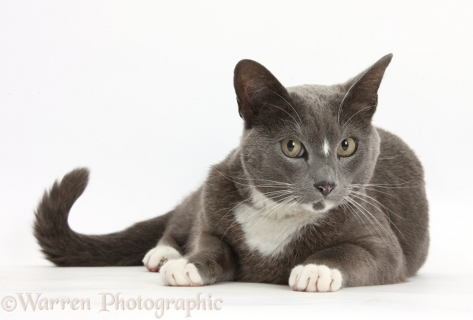 Blue-and-white Burmese-cross cat, Levi, lying with head up, white background