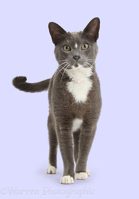 Blue-and-white Burmese-cross cat, Levi, standing and lashing his tail, white background