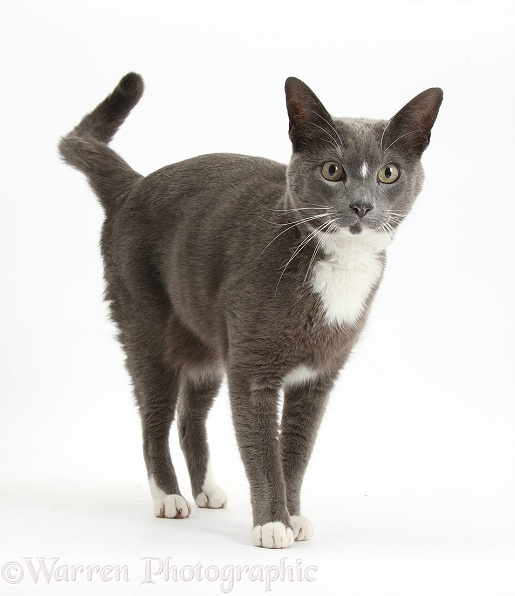 Blue-and-white Burmese-cross cat, Levi, standing, white background