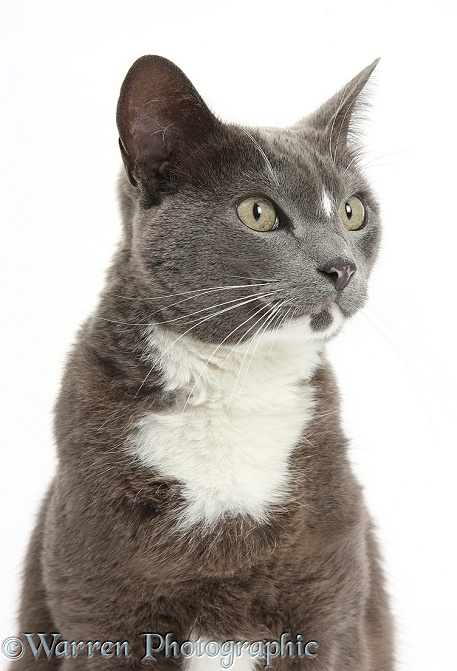 Blue-and-white Burmese-cross cat, Levi, white background