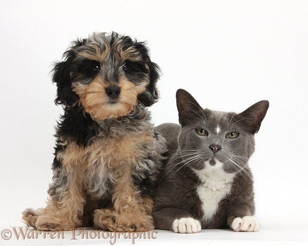 Cute tricolour merle Daxie-doodle puppy, Dougal, sitting with Blue-and-white Burmese-cross cat, Levi, white background