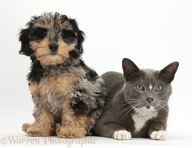 Pets Cute Daxiedoodle Puppy And Burmese Cross Cat Photo