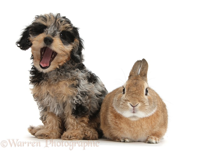 Cute tricolour merle Daxie-doodle puppy, Dougal, with Netherland Dwarf-cross rabbit, Peter, white background
