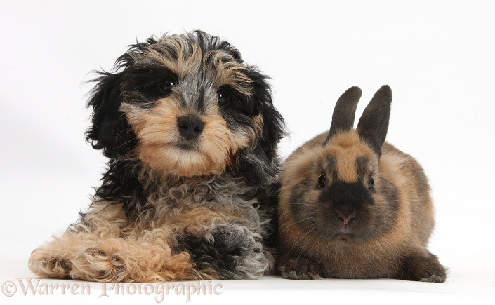 Cute tricolour merle Daxie-doodle puppy, Dougal, with a black-and-brown rabbit, white background