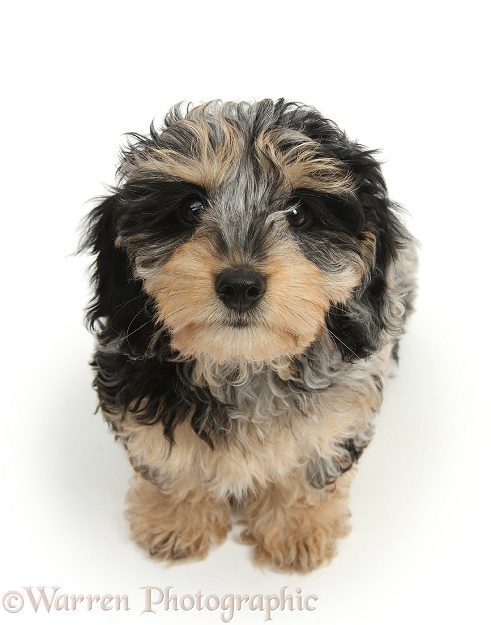 Cute tricolour merle Daxie-doodle puppy, Dougal, sitting and looking up, white background
