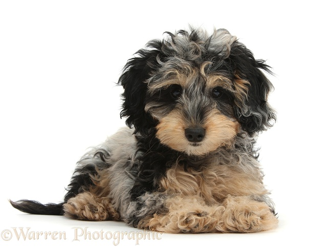 Cute tricolour merle Daxie-doodle puppy, Dougal, lying with head up, white background
