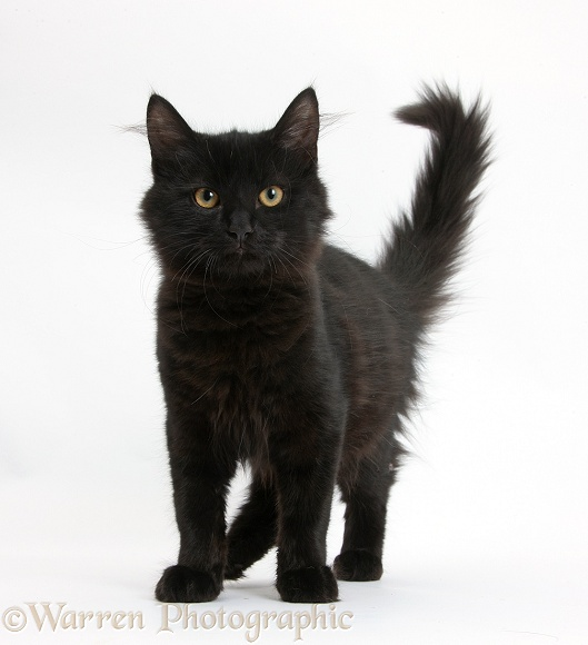Fluffy black kitten, standing, white background