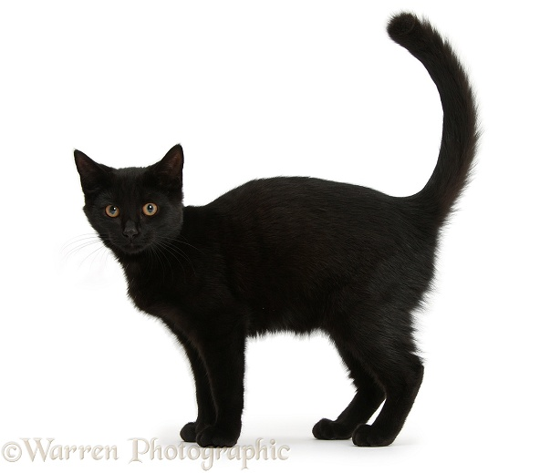 Black female cat, Pachie, 5 months old, standing, white background