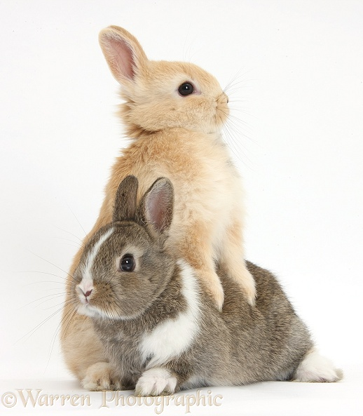 Young Netherland Dwarf cross rabbits, white background